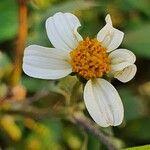 Bidens pilosa Virág
