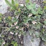 Vaccinium vitis-idaea Feuille