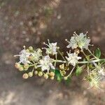 Lawsonia