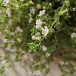 Chaenorrhinum villosum