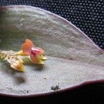 Lepanthes psyche