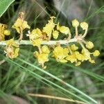 Byrsonima verbascifolia
