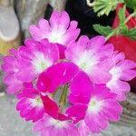 Verbena rigida Flor