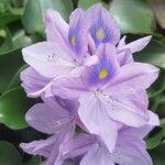 Eichhornia crassipes Kukka