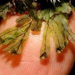 Hymenophyllum neocaledonicum