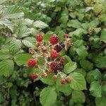 Rubus ulmifolius Frutto