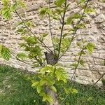 Podocarpus macrophyllus 葉