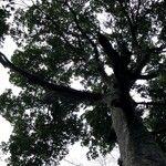 Parartocarpus