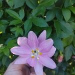 Passiflora tripartita Kukka
