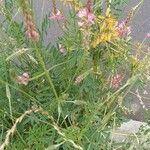 Onobrychis arenaria