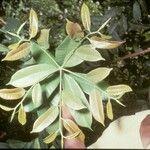 Anthostema aubryanum