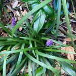 Liriope muscari Fleur