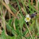 Viola kitaibeliana