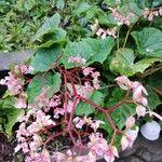 Begonia obliqua