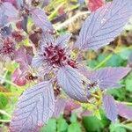 Galeopsis tetrahit Flower