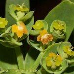 Euphorbia tuckeyana
