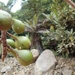 Ficus dzumacensis