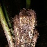 Mickelia nicotianifolia