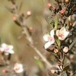 Trembleya parviflora