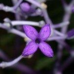 Faramea suerrensis