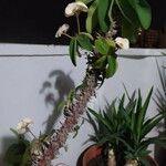 Euphorbia didiereoides