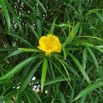 Thevetia peruviana Kukka