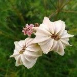Cachrys ferulacea