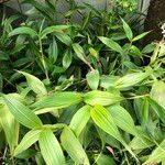 Sobralia macrantha cv. 'Alba' Port