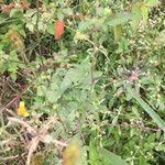 Bidens pilosa Leaf