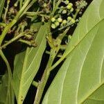 Psychotria jimenezii