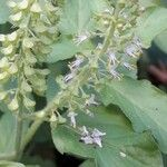Ocimum tenuiflorum Pflanze