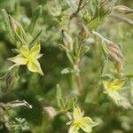 Helianthemum salicifolium