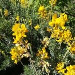 Adenocarpus hispanicus