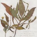 Hieracium grovesianum