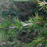Larix x marschlinsii