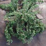 Cotoneaster x suecicus