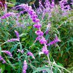 Salvia leucantha Blodyn