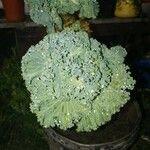 Brassica oleracea Leaf