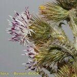 Carduus bourgaei