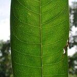 Zanthoxylum riedelianum
