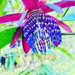 Passiflora ambigua Flower