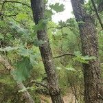 Quercus pubescens Lehti