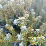 Phylica nitida Virág