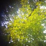 Acer platanoides 葉