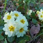 Primula acaulis Flower