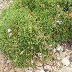 Limonium letourneuxii