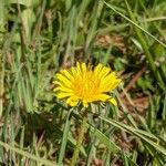 Taraxacum officinale 花