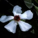 Dillenia philippinensis