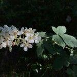 Rubus canescens
