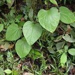 Odontocarya truncata